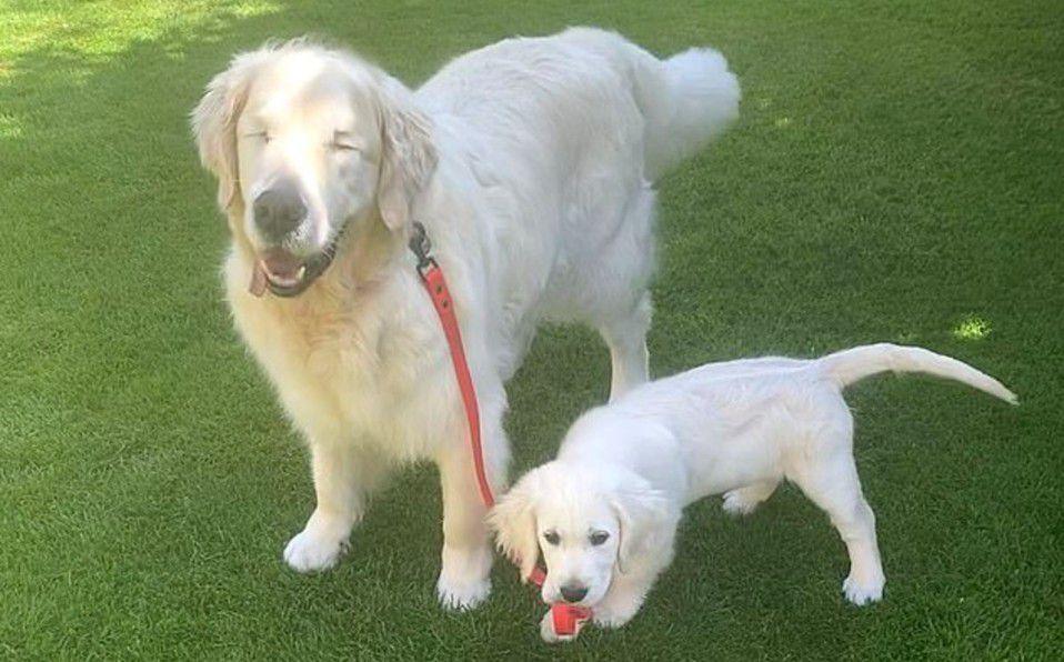 Perrito ciego tiene su propio perro gúa y se hace viral | Video
