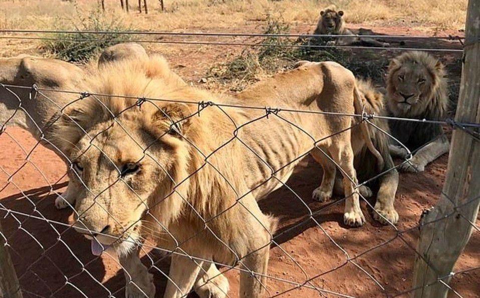 Leones para la caza son liberados en Sudáfrica