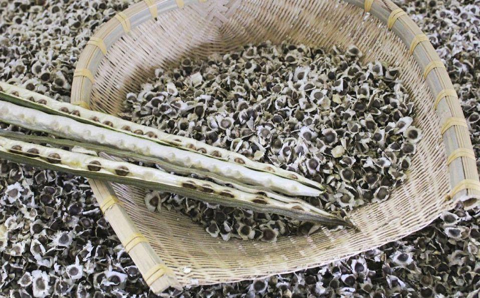 La semilla de moringa es muy utilizada en la medicina tradicional (Getty).