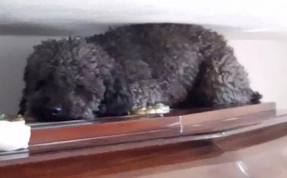 Viral: Perro Benito visita a su dueña en el cementerio
