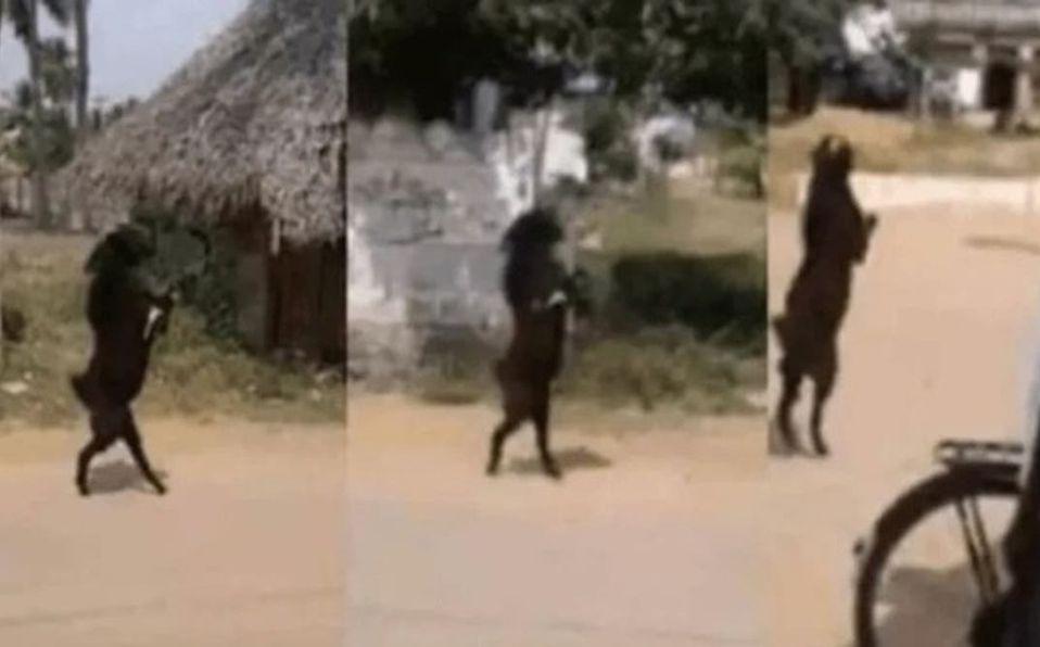 Video: Cabra se vuelve viral por caminar en dos patas