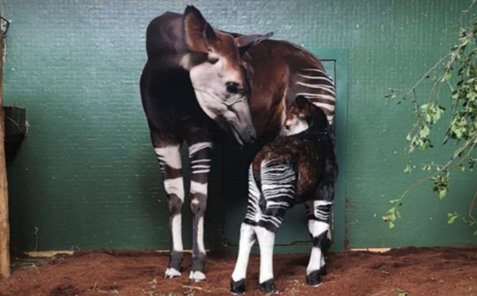 Okapi: Nace animal en peligro de extinción en zoológico de Londres